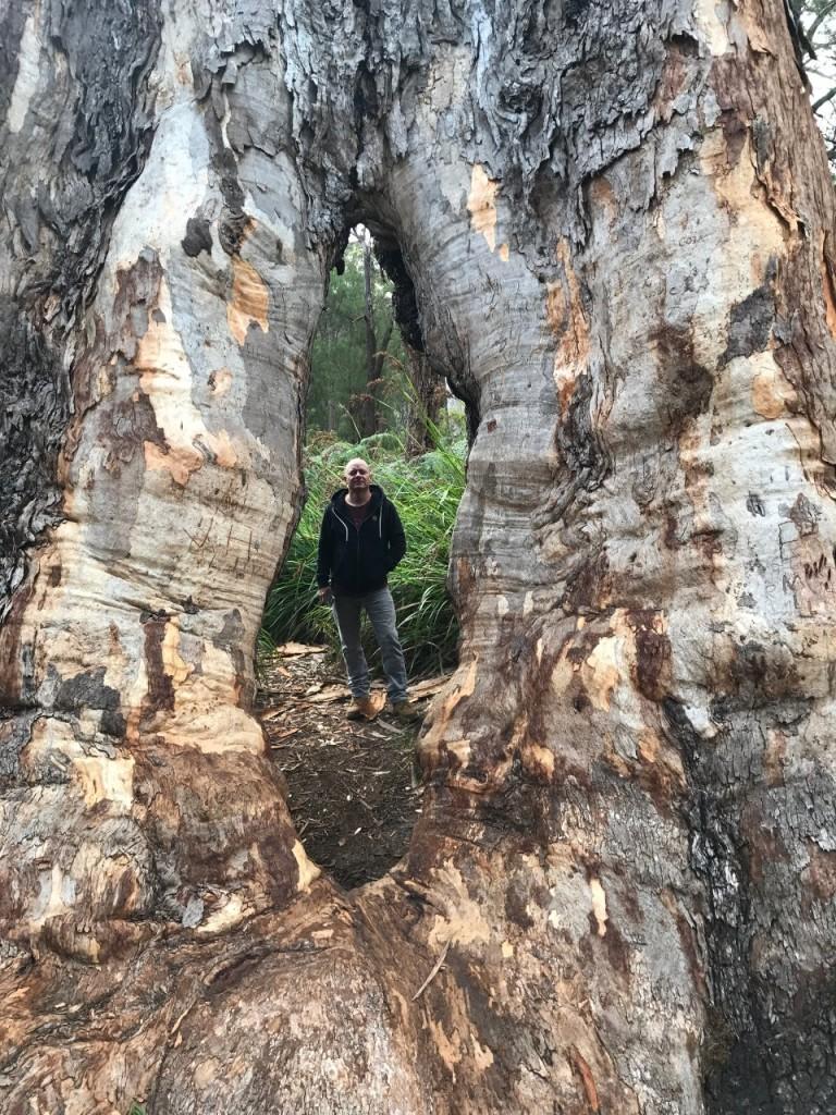 Col through a Tingle Tree, Walpole WA
