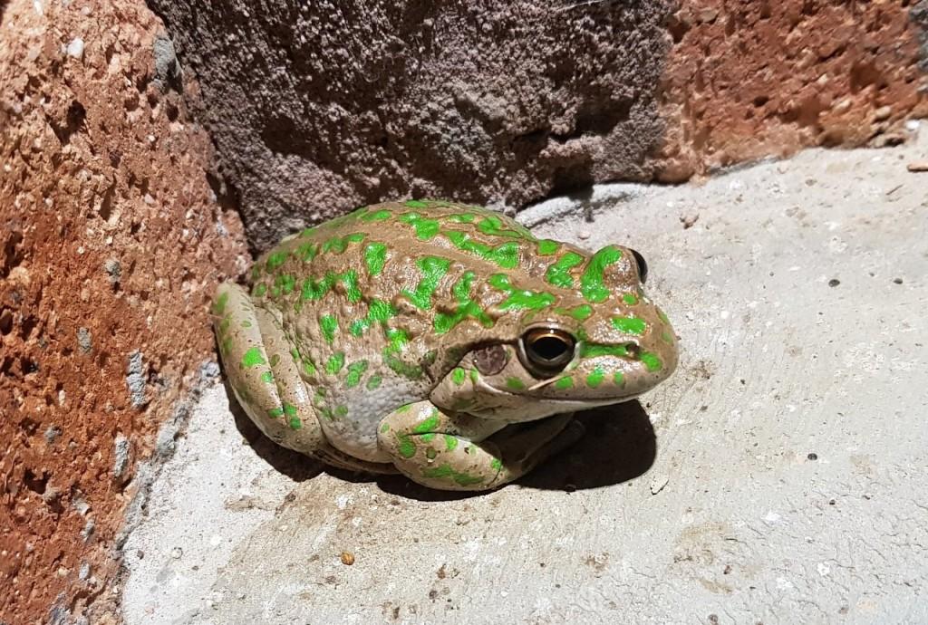 Condingup, Western Green Tree Frog