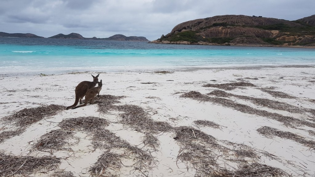 Lucky Bay, Kangaroo and Joey