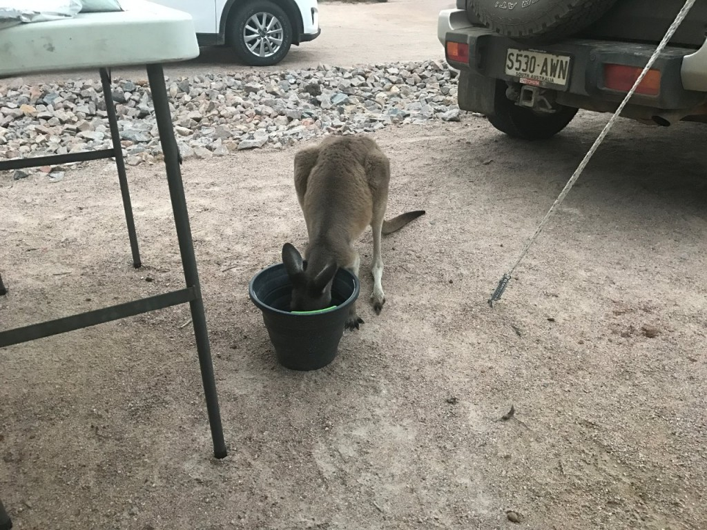 Lucky Bay, Thirsty Roo