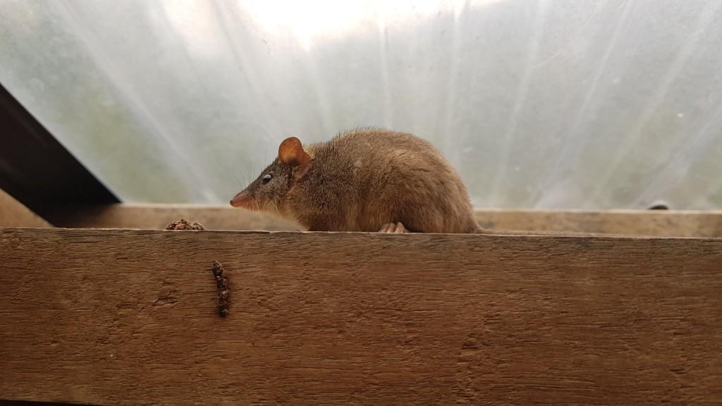 Native Mouse, Cape Howe National Park