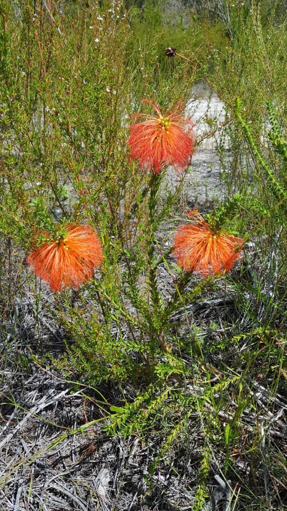 Orange Flowers near Torbay Inlet