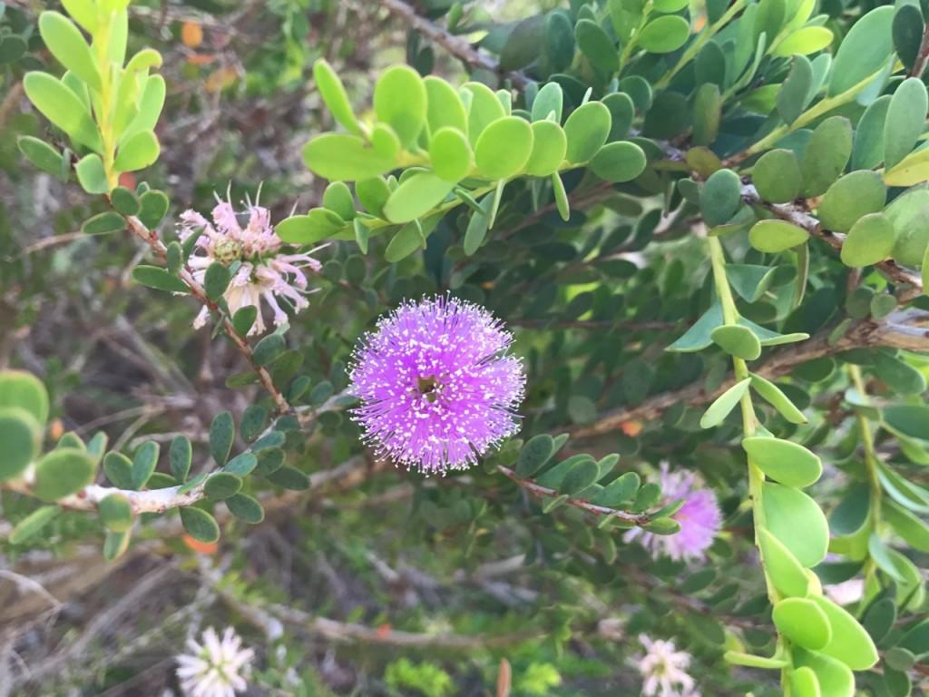 Bremer Bay, Purple flower