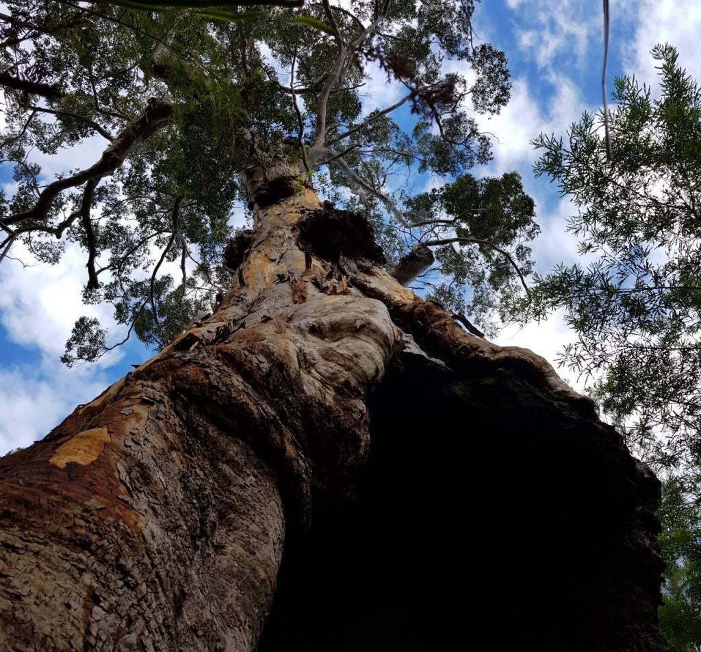 Tingle Tree, Walpole WA