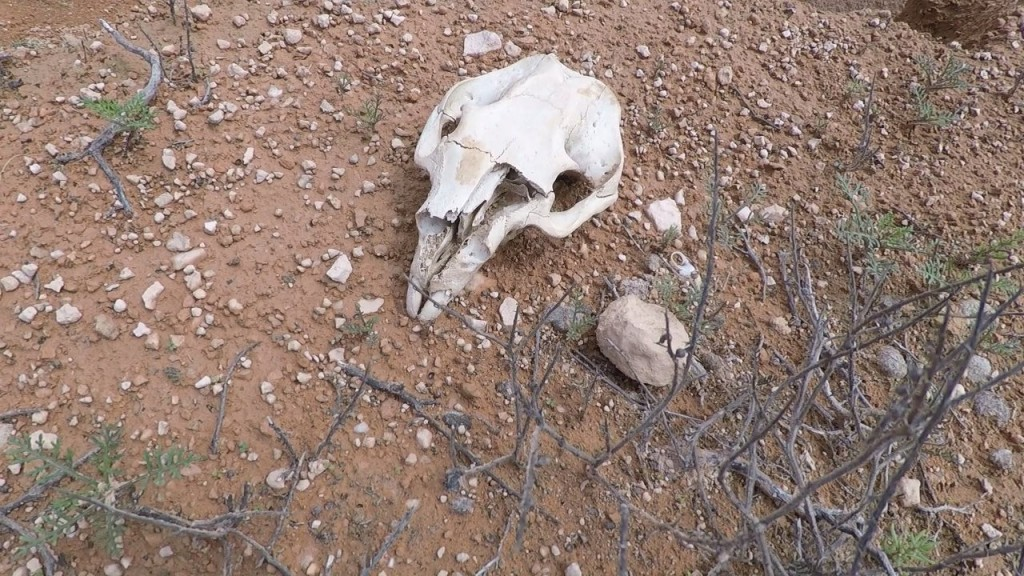 Nullarbor National Park, Wombat Skull