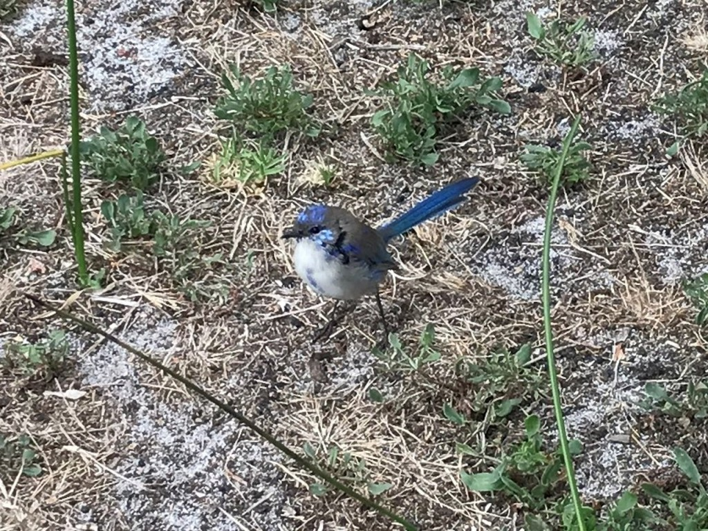 Blue Wren, Sid's Campground, Northcliffe WA