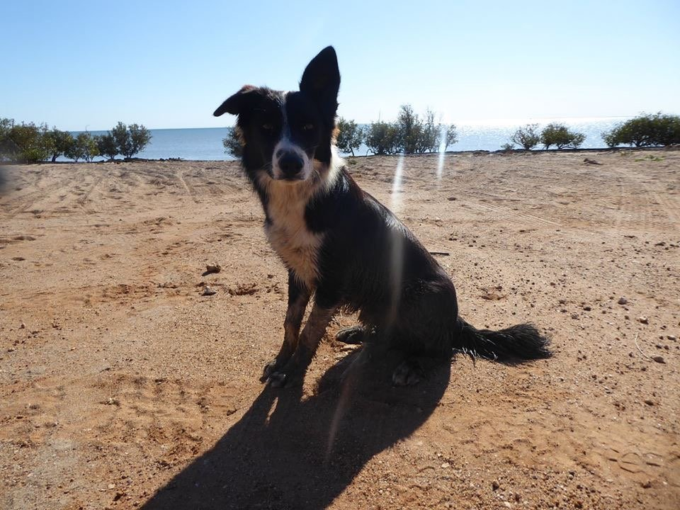Bunjil the Border Collie, Giralia Station WA