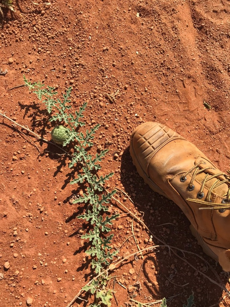 Little Melon on the Kangaroo Walk Path, Giralia Station Stay WA