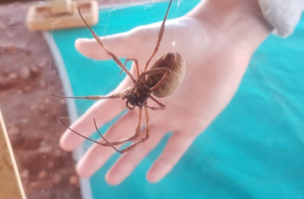 Golden Orb Spider, Dales Gorge, Karijini National Park WA