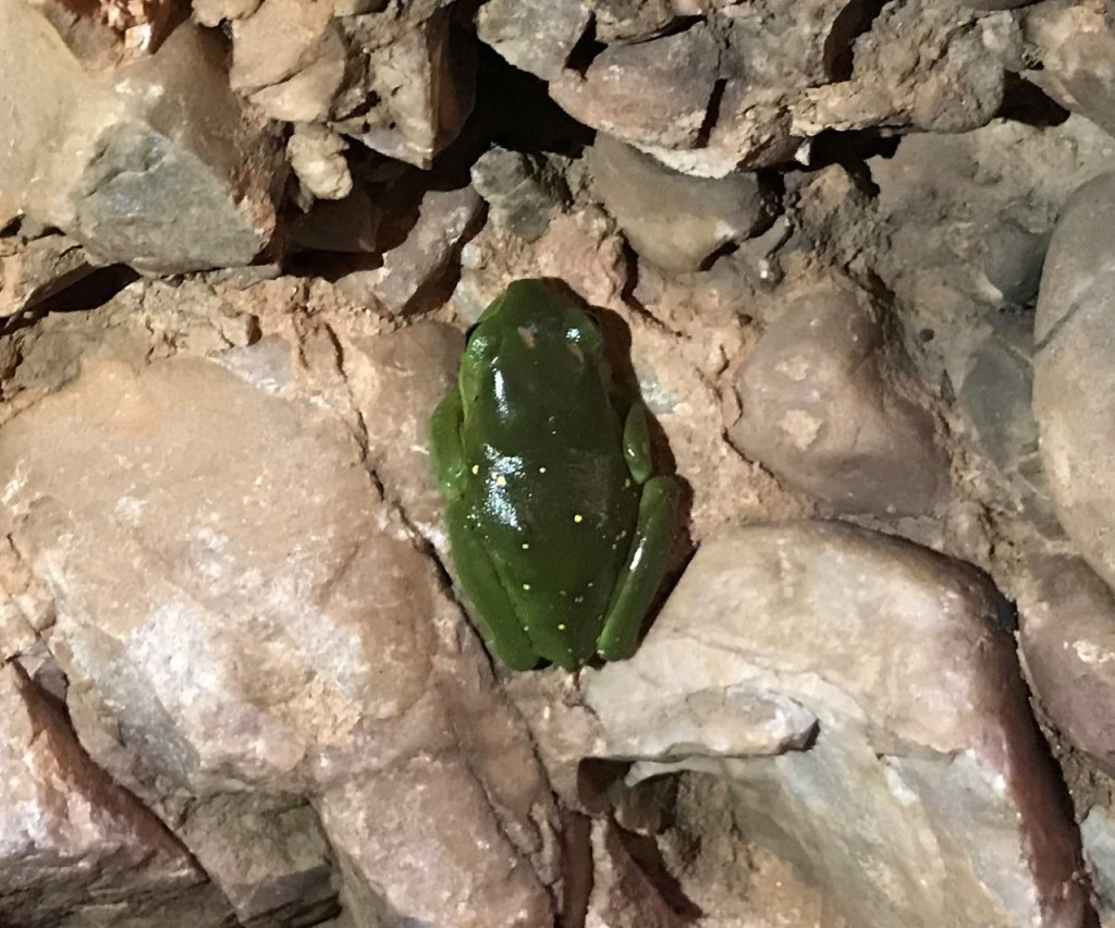 Green Frog at Echidna Chasm, The Bungle Bungles, Purnululu National Park WA
