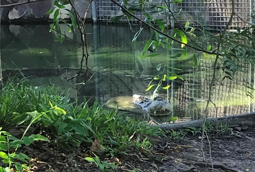 Saltwater Croc at Corroborree Tavern NT