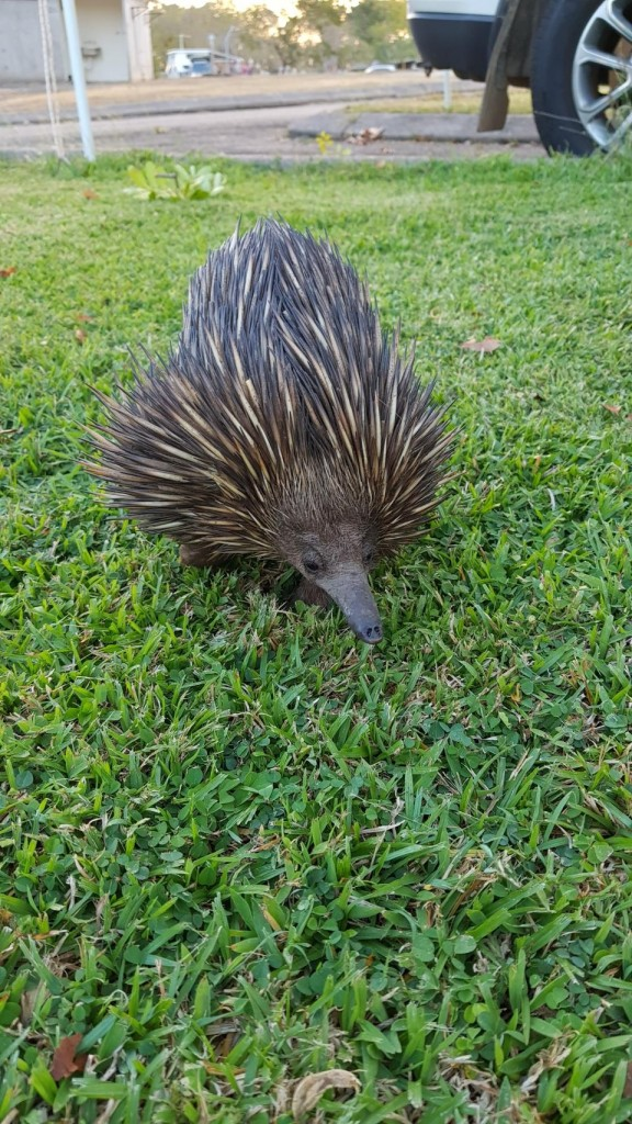 Echidna, Lee Point Village Resort, Darwin NT