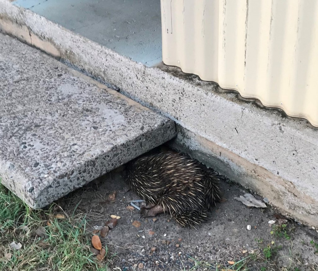 Echidna hiding under our step, Lee Point Village Resort, Darwin NT