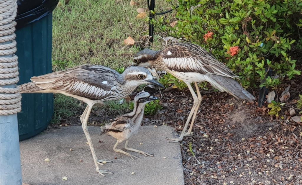The Curlew Family, Lee Point, Darwin NT
