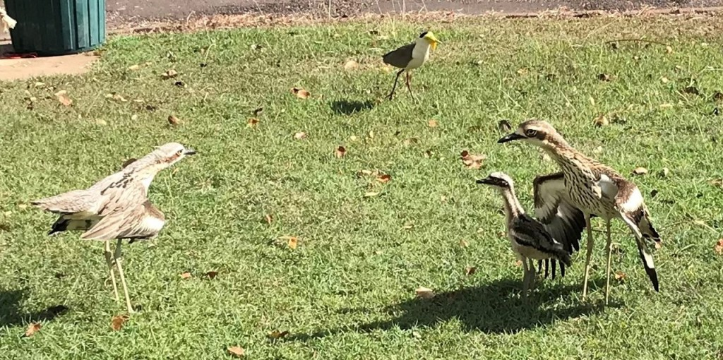 Bush Stone-Curlews defending the remaining baby against a Plover, Lee Point, Darwin NT